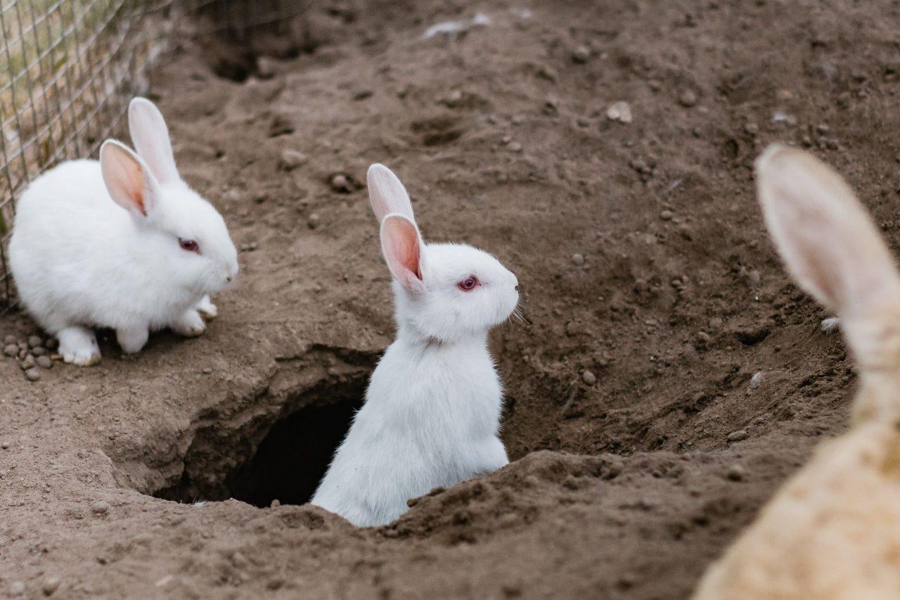 Les lapins sont considérés comme des animaux de compagnie